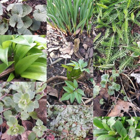 Gartenkräuter / Wildkräuter im März