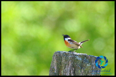 Singing Stonechat on a trunk