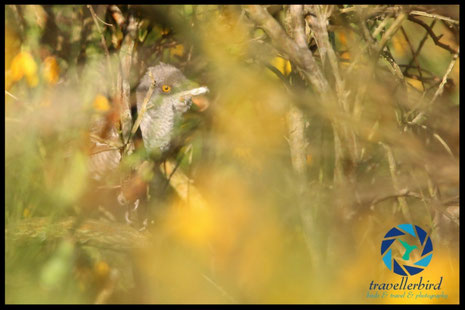 Barred warbler hidden in gorse