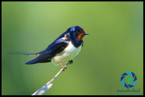 Barn swallow close up