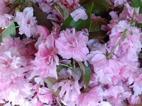 八重桜、塩漬け、桜茶として有名