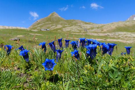 Almwiese in 2200m Höhe mit Silikat-Glocken-Enzian (Gentiana acaulis)