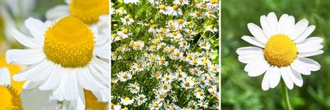 spagyrische Pflanze Nr.: 48 Kamille ( Matricaria chamomilla) Fotolia