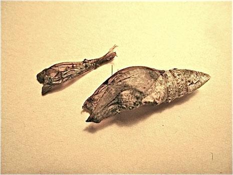 空になった蛹を現場から採り、ハッチを取って裏返しにしたもの。(左上)