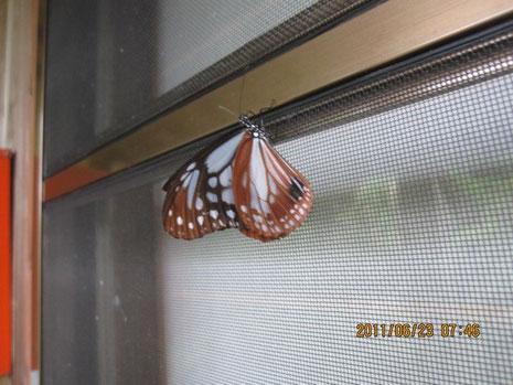 アサギマダラ(浅黄斑蝶 Parantica sita niphonica) タテハチョウ科 マダラチョウ亜科