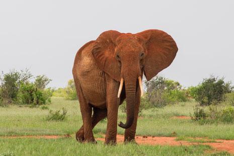 Elefant frei und mächtig