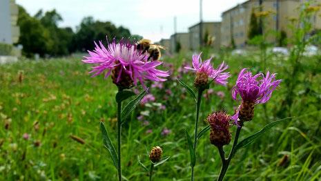 Wildblumenwiese in der Stadt Bienenretter