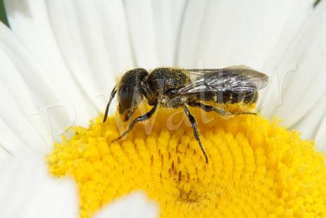 Bild: Löcherbiene, Osmia truncorum, Weiße Färberkamille