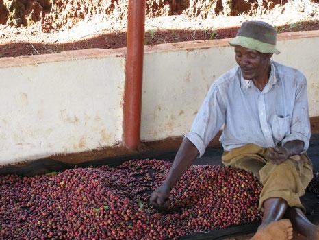 Bauer mit seinen Kaffeekirschen