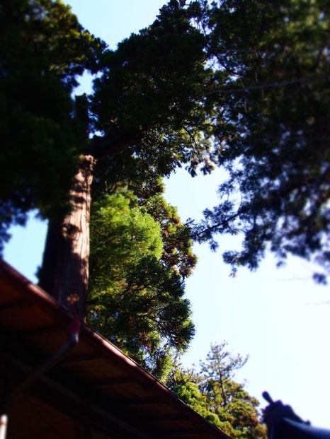 建物の中を大木が通っているんです。わかりにくい写真ですが、なんてカッコイイ塩釜さま!