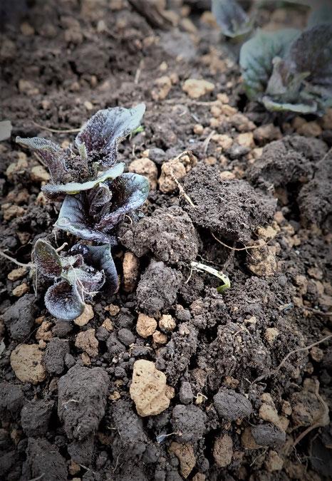 ジャガイモの無農薬栽培「さとやま農学校」は初心者の野菜作り教室です