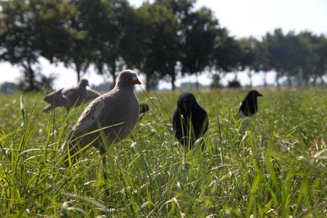 Tauben als Confidence Decoys für das freundliche Lockbild