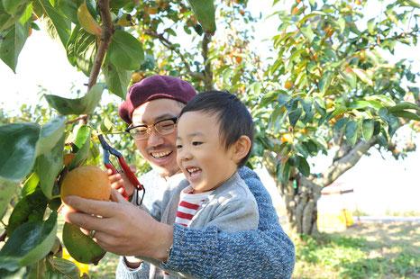 柿の収穫,カキ狩り,岐阜の富有柿