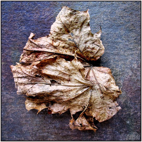 dry sycamore leaf