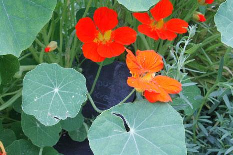 Wildkräuter(n), Kapuzinerkresse, rote und orange Blüten