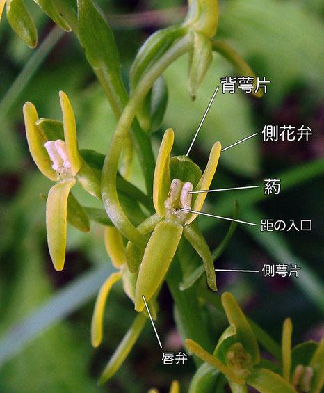 ホソバノキソチドリの花の構造(背萼片、側花弁、側萼片、唇弁、距の入口)