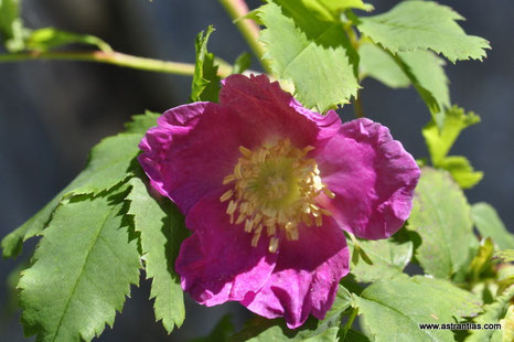 Rosa pendulina-Rosa alpina-Alpen-Hagrose-Hängerose-Alpenheckenrose-Alpen-Rose - Gebirgs-Rose - Rosier des Alpes - Rosa alpina - Wildrosen - Wildsträucher - Heckensträucher - Biodiversität - Wildrose