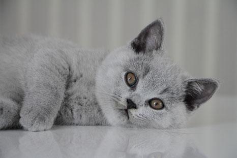 bkh kitten katze nrw blau kawerinni