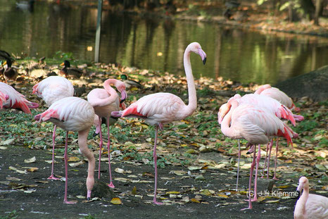 Rosaflamingo (Phoenicopterus roseus) Gruppe adulter Vögel im Freigehege des Kölner Zoos [Oktober]