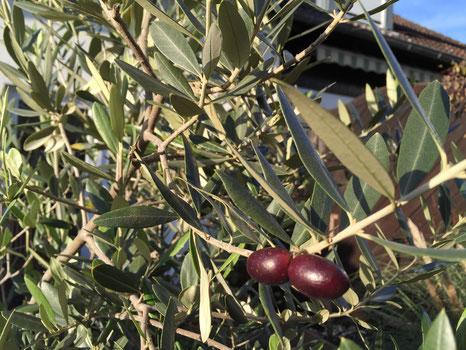 Olivenbaum mit schwarzen Oliven