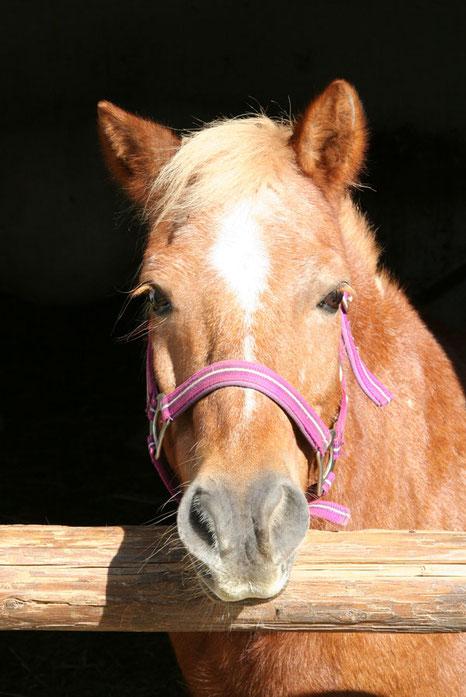 Hippolini Pony vom Reitstall Althof