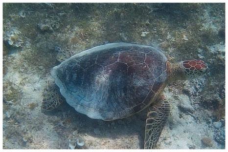 Mauritius Meeresschildkröte Wasserschildkröte Katamaran Ausflug Gabriel Insel Island