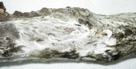 radici-attacate-dal-fungo-rosellinia-necatrix