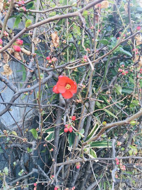隣家でフライング気味に咲き誇るクサボケちゃん一輪(正確には普通の木瓜?)。愛おしい。2. 2021