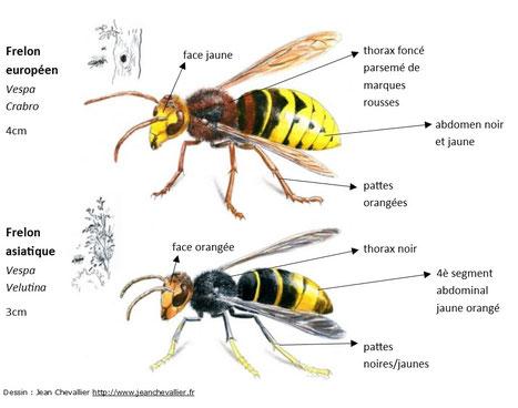 cqu presse frelon l 39 api d 39 amon nos tes formation apicole durbuy erez e et manhay. Black Bedroom Furniture Sets. Home Design Ideas