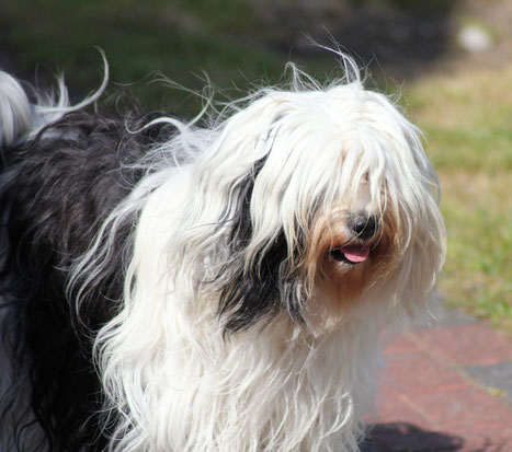 Tibet Terrier Hündin Joyce