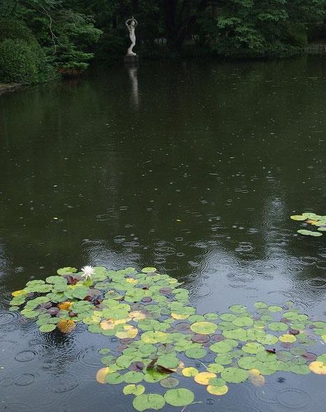 8月28日(2014) 雨の神代植物公園:築山の近くの池にて