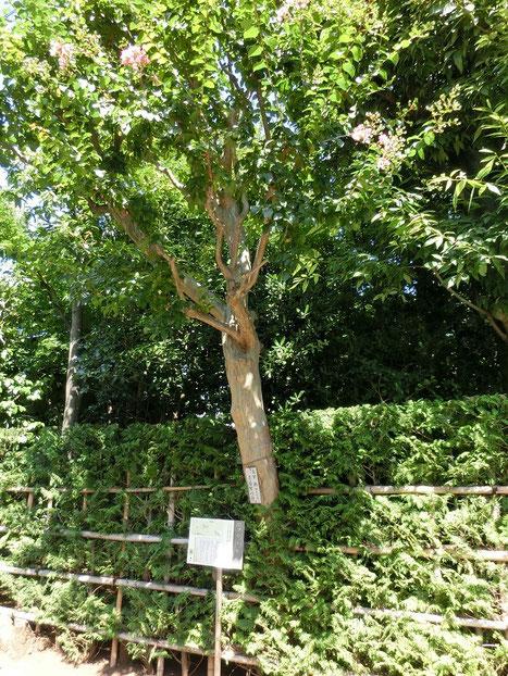 8月8日(2015)太宰ゆかりの百日紅:三鷹市の井心亭(せんしんてい)のサルスベリ。近くにあった作家太宰治の旧宅に植えられていたものが移植されたとのことです。
