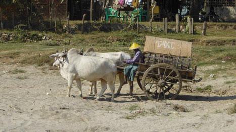 Bild: Ochsenkarren in Myanmar