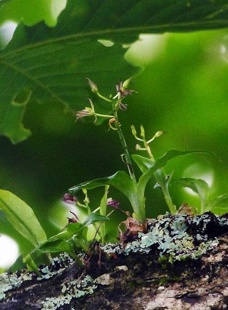 クモイジガバチ  自生地は限定され、出逢うことはとても難しい