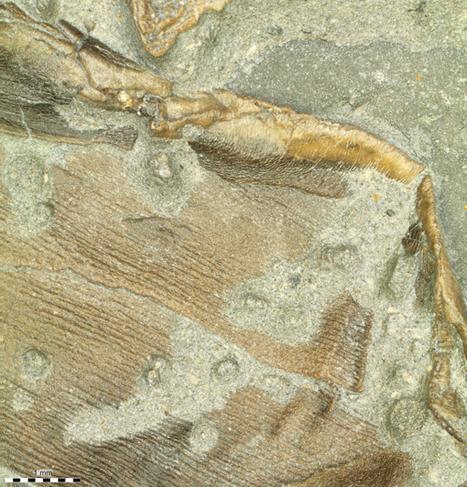 Ichthyosaur skin