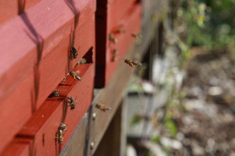 Bienenstand Herr Biene Hamburg