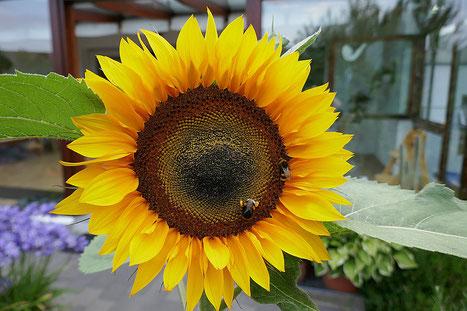 Sonnenblume mit fleißig sammelnden Hummeln
