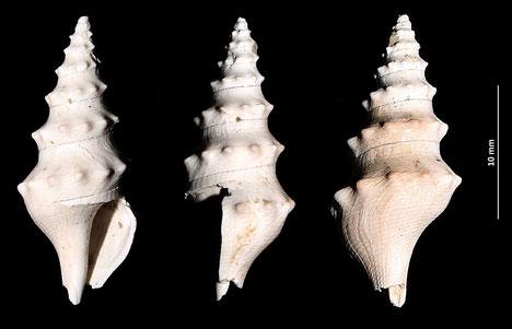 Turricula coquandi, calanchi di Sabbiuno (BO)