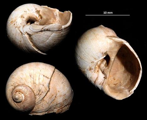 Cochlis sp. dai calanchi di Sabbiuno (BO)