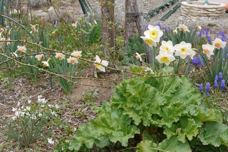 4月20日やっと咲き出した水仙やムスカリ・・・手前のルバーブは三年目かな。ニュードンの枝が伸びてます