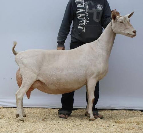SGCH Sartyr Fox Tiramisu, dam of Trident, photo used courtesy of Vineyard View