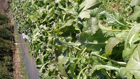 固定種・在来種の野菜づくり@すどう農園