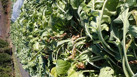 固定種コマツナの野菜づくり@すどう農園