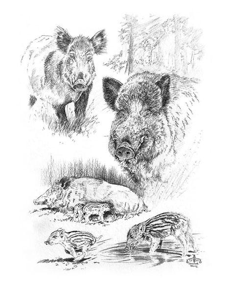Wildschweinstudie