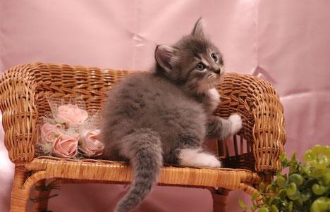 ノルウェージャンフォレストキャット子猫