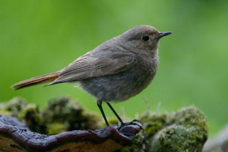 Der Hausrotschwanz gehört zu den ersten  Zugvögeln, die zu uns zurückkehren. (Foto: Fotonatur)