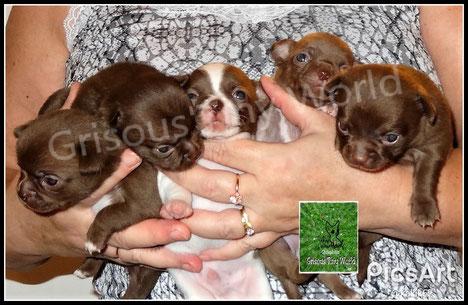 Chiots chihuahua de l'élevage de chiens Grisous'Tiny World