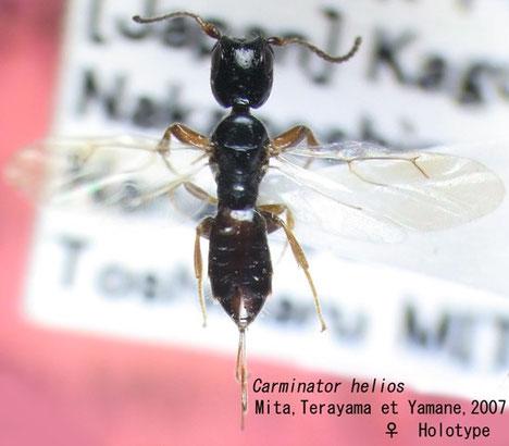 Carminator helios Mita, Terayama et Yamane (Holotype)