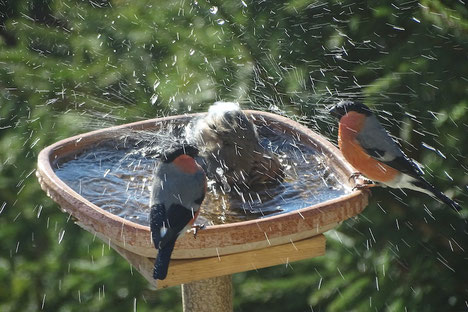 Gimpel Dompfaff baden bullfinch taking a bath