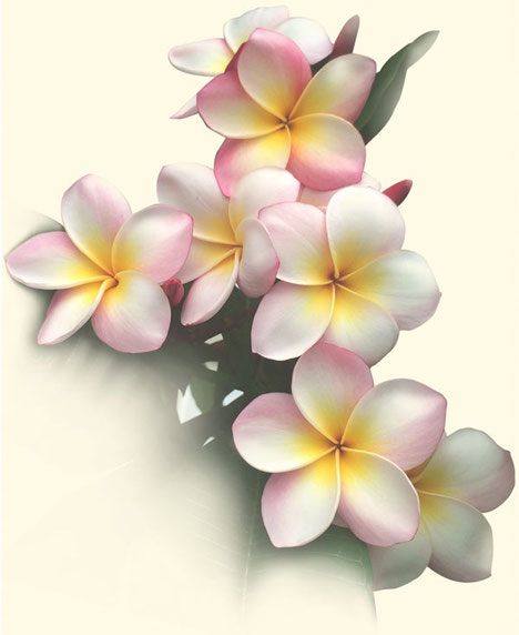 Frangipaniblühten verweisen auf die Farbigkeit und den Zauber einer hawaiianischen Massage Lomi Lomi von taloha bodywork.
